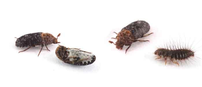 Speckkäferlarve bekämpfen